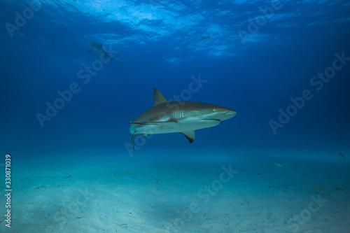 Fotografie, Obraz Caribbean reef shark in Tiger Beach, Bahamas.