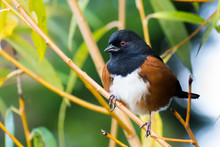 Spotted Towhee On Branch Closeup