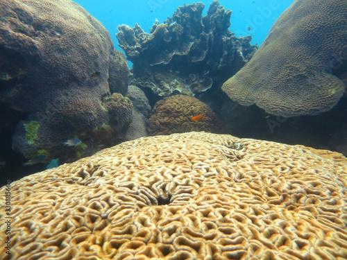 large manicina areolata thailand Canvas Print