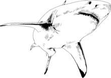 Great White Shark Attacks With Open Mouth, Hand-drawn Ink Sketch