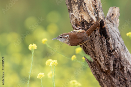 Fotografie, Obraz Carolina wren perched on a branch in a backyard home feeder