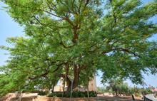 The Rosewood Tipuana Tipu Tree...