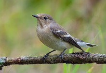 Female European Pied Flycatcher (ficedula Hypoleuca) Sits On Small Twig With Clean Green Grassy Background