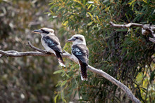 The Two Laughing Kookaburras Are Resting On A Tree Branch