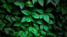 Wild Grapes  Green Wall. Natur...