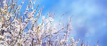 Weiße Baumblüte Vor Blauem H...