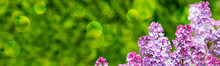 Branch With Spring Lilac Flowe...
