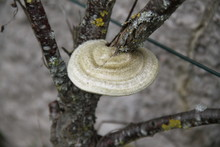 Circular Mushroom On A Peach Tree Trunk