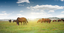 Horses Grazing On Grassland Un...