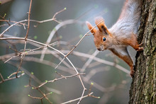 Curious Red Squirrel - Wiewió