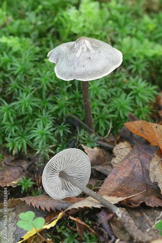Lyophyllum rancidum, known as rancid greyling, wild mushroom from Finland Canvas-taulu