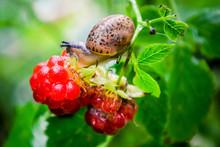 Snail On Raspberry