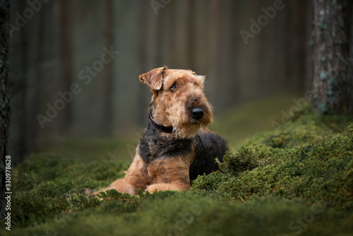 Photo beautiful airedale terrier dog lying down on moss in the forest