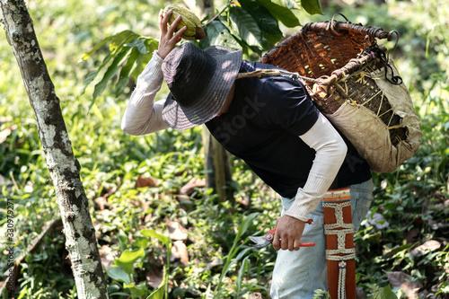 Joven recolectando cacao Canvas Print
