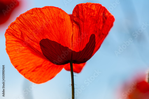 Photo Petals of a blooming red poppy field flower.