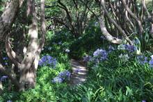 Sous Bois D'Agapanthe