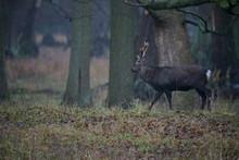 Deer Walking - Denmark