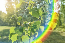 Young Green Leaves Of A Birch Tree In The Foreground In The Sunlight And An Inverted Rainbow Reflection