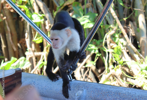 Fotografering Funny capuchin monkey poses for tourists, photo session with capuchin