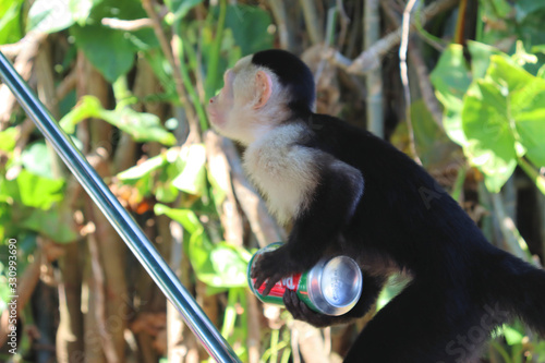 Funny capuchin monkey poses for tourists, photo session with capuchin Slika na platnu