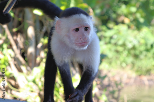 Funny capuchin monkey poses for tourists, photo session with capuchin Fototapet