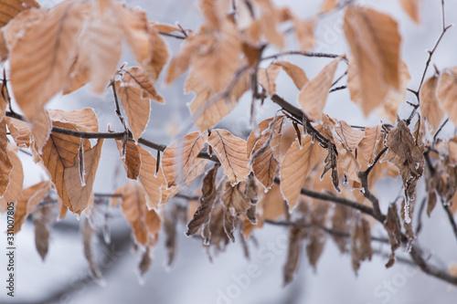 frosty leaves on tree or branch Fototapeta