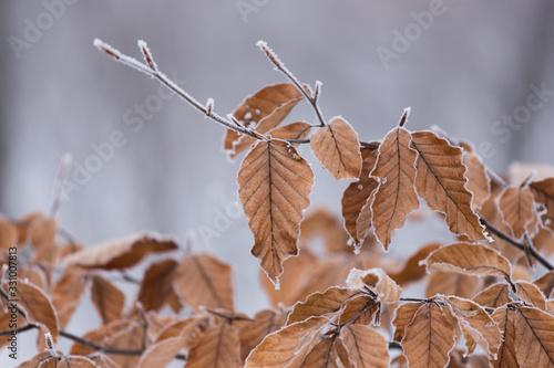 Fotografija frosty leaves on tree or branch