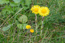 Yellow Colored Coltsfoot Flowers (Tussilago Farfara) In A Field Of Grass