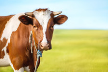 Portrait Of A Cow On A Blurred...