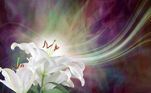 Experience The Lily Diva Pure Energy Frequency - Beautiful White Lily Heads With A Ball Of White Energy Streaming Out And Up Against An Ethereal Purple  Flowing Background With Copy Space