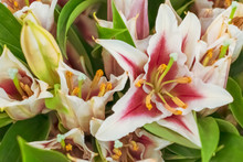 Close Up Of White-pink Lilies ...