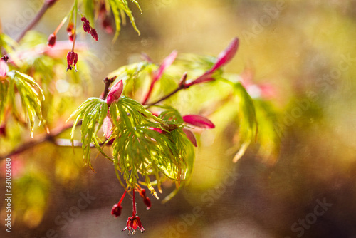 spring background ,budding acer leaves with selective focus & light bokeh Wallpaper Mural