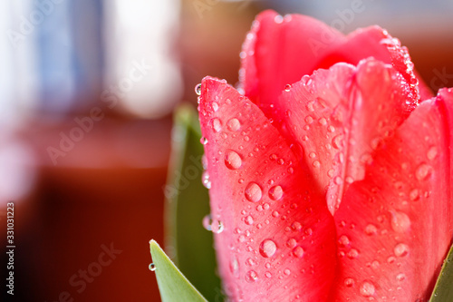 Pink tulips with water drops. Nature wallpaper with spring flowers and bokeh. #331031223