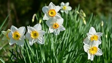 Narcissus Flowers Flower Bed W...