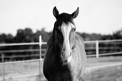 Stud horse portrait looking at camera in black and white.