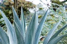 Agave Tequilana, Commonly Call...