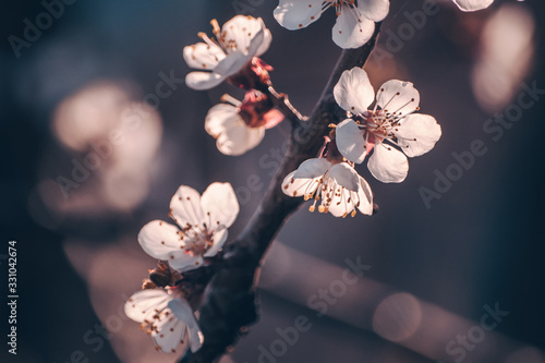White apricot tree flowers close-up of sunset background Canvas Print