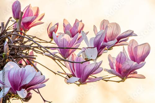 Fiori di magnolia - ramo fiorito in controluce con luce al tramonto Canvas Print