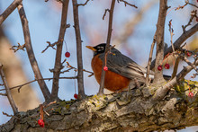 American Robin In The Park