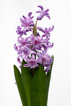 Hyacinth On White Background I...
