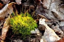 Green Moss Growing In The Forest On A Background Of Dry Leaves. The Bloom  Of Green Moss In The Sun's Rays In Spring