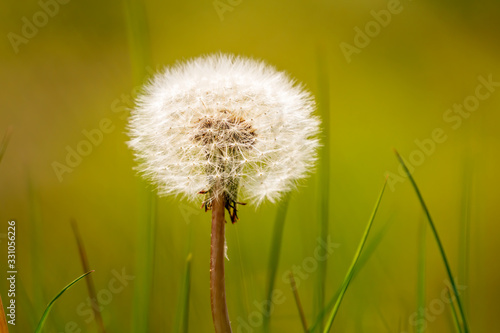 Single dandelion flower, Taraxacum from plants family Asteraceae, with ball of feather seeds on green blurred background Wallpaper Mural