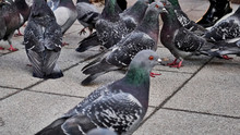 Flock Of Street Pigeons Close-up
