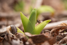 Daylily Leaves Sprouting In Wi...