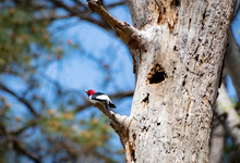 Red-headed Woodpecker Perched At Nest Site At Lake Acworth In Georgia.