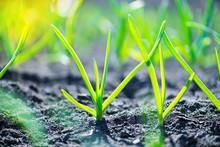 Garlic Young Plant Seedlings I...