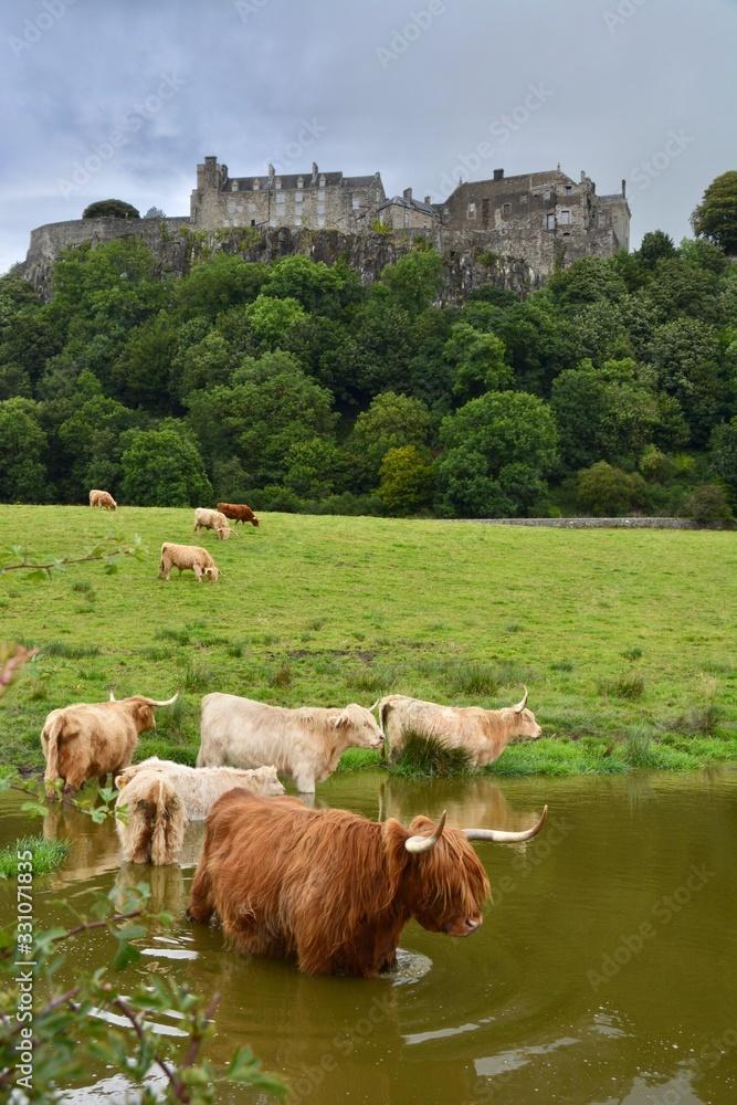 Fototapeta Highland cows in Scotland