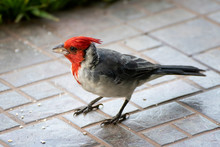 Close Up Red Crested Cardinal ...