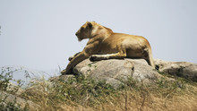 A Lioness Lying On Top Of A Ko...