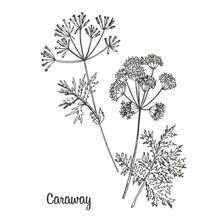 Graphic Illustration Caraway